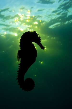 close-up-of-a-seahorse-swimming-in-the-sunset-this-won-the-silver ...