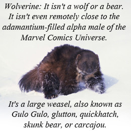 Wolverine Facts