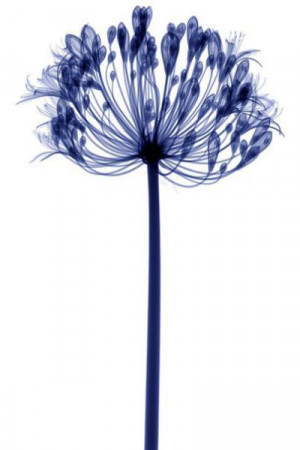 Charming X-Rays of Flowers (19 pics)