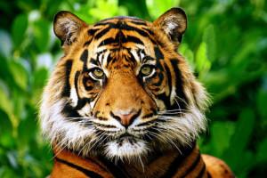 endangered species sumatran tiger flickrbigcats blinkagain Chester Zoo ...
