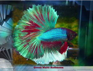 Betta Fish Quotes Quotesgram