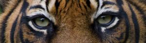Sumatran tiger (Panthera tigris sumatrae) / ©: naturepl.com / Edwin ...