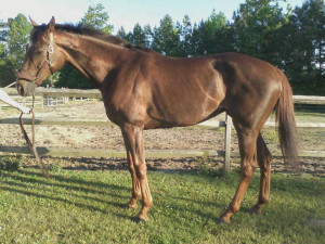 Discuss ottb mare at the Critique My Horse forum - Horse Forums.