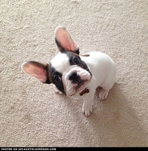 Adorable French Bulldog puppy Pressy is all ears. Yes mommy I'm ...