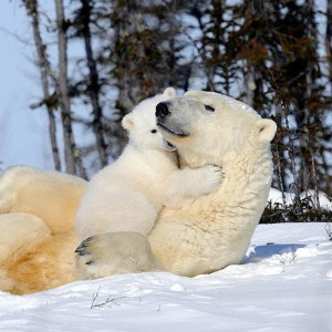 Another Quote of the Day: Two Views on Polar Bears : TreeHugger