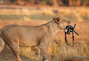 lioness makes off with photographer Ed Hetherington's camera (see ...