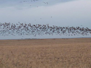 2007 north dakota pheasant population forecast by britta