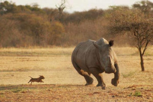 Rhino the most endangered animal in the African Savannah