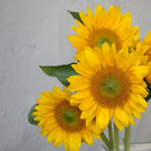 his cheerful close up of a sunflower is another created by ...