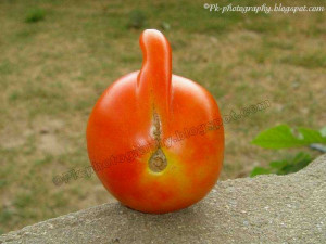 The Biggest Tomato Plant World Amazing And Funny Pictures
