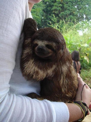 Cute Little Three Toed Sloth