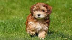 havanese puppy cut 327e0e687ae4a816 jpg