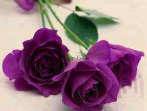 Purple Roses via Lovely Roses Facebook page