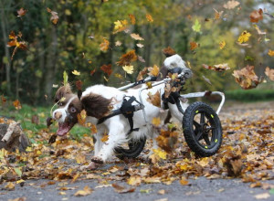 Disabled dog in a wheelchair loves chasing leaves