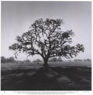 Oak Tree, Sunrise by Ansel Adams art print
