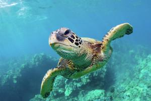 Hawaii Sea Turtles Clips Arts