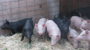more stock show pigs