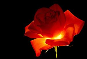 Rose lumineuse prise sur le net, magnifique en fond d'écran, cliquez ...