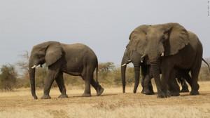 Elephant poaching: The threat for elephants