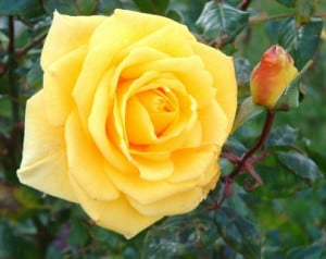 Roses in Pictures, Poetry, Song, Literature and Famous Quotes