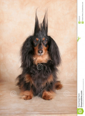 Royalty Free Stock Photography: Surprised Dachshund