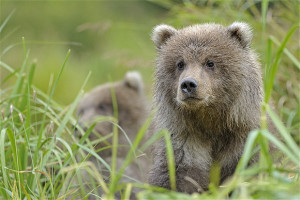 grizzly bear love