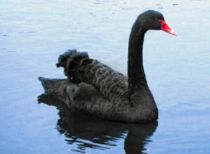 Black Swan Sighting.. It is a Good or Bad Swan?