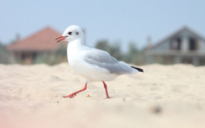 Tag: Seagull Bird Wallpapers, Backgrounds, Photos, Imagesand Pictures ...