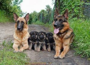 Il cane da pastore tedesco [1] (detto anche Deutscher