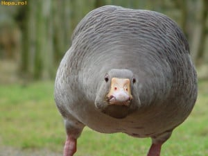 Animals - Fat goose
