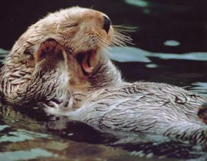 otter otter cases otter sea the sea otter otter tail corp the otter ...