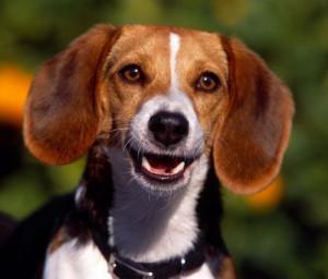 Funny Beagle for Samsung Galaxy Tab