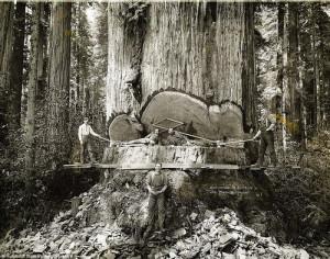 California Giant Redwood Trees - 1915