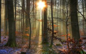 forest woods trunks sunlight sunrise sunset beam rays winter ...