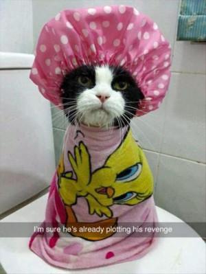 cat plotting revenge. cat after a shower