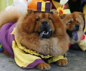 Funny Chow Chow Dogs Dressed Up 2013