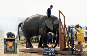 Lifting an elephant in Vietnam