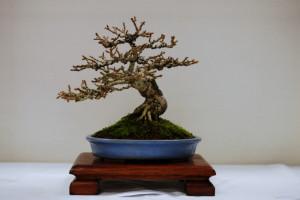Lee Verhorevoort Bonsai workshop