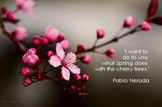 neruda cherry trees quotes more arty things cherries blossoms blossoms ...