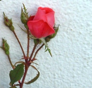 love quotes malayalam red rose love quotes malayalam red rose love ...