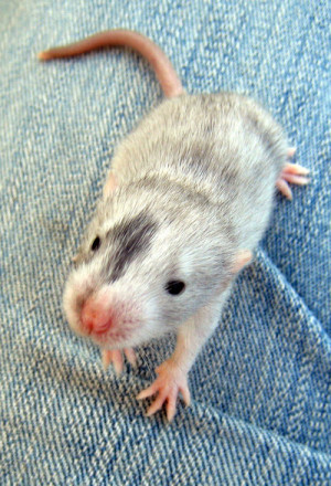 Cute Pet Rat