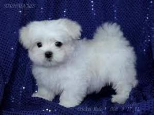 Contact bibiche: cutest maltese puppies for adoption