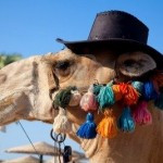 Funny Camel…. Laughing Camel….. Person Riding On Camel….. Please ...