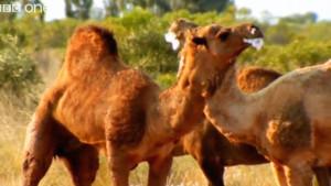 more BBC funny talking camels