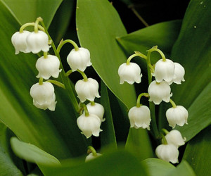 Lily of the Valley- Return of Happiness