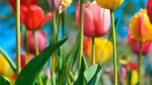 Download Tulip field 1366x768 Wallpaper