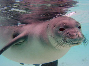 The Hawaiian monk seal is one of the species that is most at risk from ...
