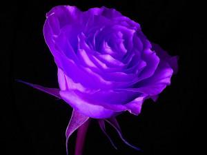 yorkshire_rose Blue Rose
