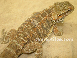 Related Pictures bearded dragon names ask com