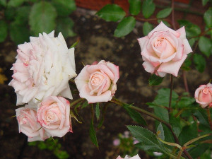 Minnie Pearl rose